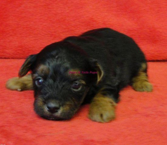 yorkie poo for adoption litter of 8 yorkiepoo puppies for sale in huntersville nc adn 244