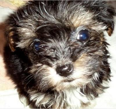 Yorkie Poo Yorkshire Terrier Toy Poodle Tiny Tiny Tiny For