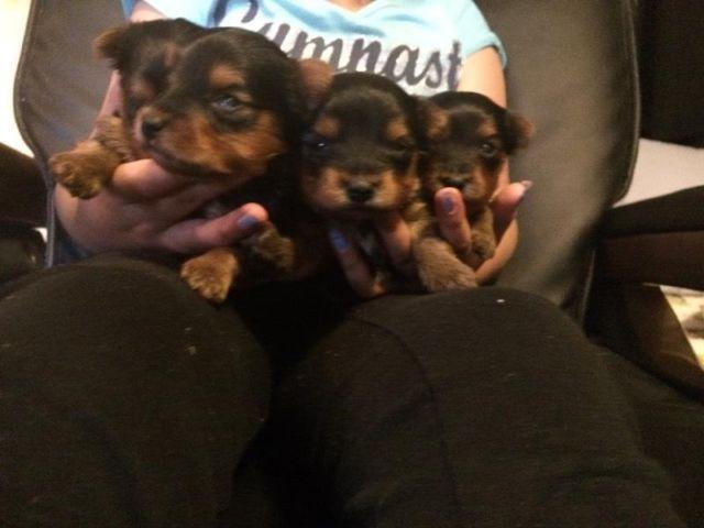Yorkie puppies 1 female 3 males $500