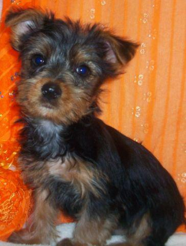 Yorkie Puppies (8 Weeks Old for sale in Parker, Kansas
