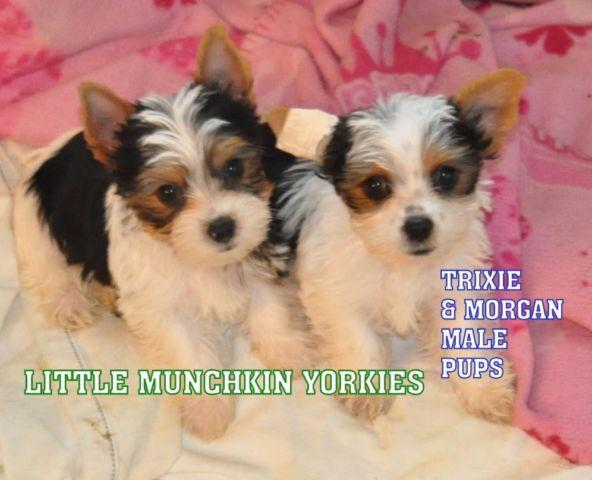 YORKIE PUPPIES AKC PARTI READY TO GO
