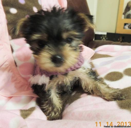 YORKIE PUPPIES for Sale in Crestview, Florida Classified