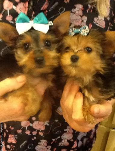 Teacup Yorkie Puppies For Sale In Arkansas Classifieds Buy And