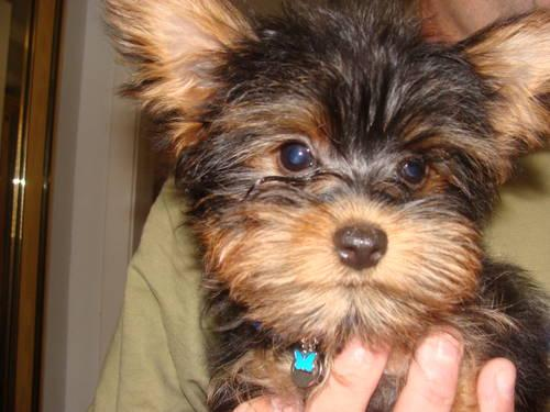 Yorkie Puppies for Ado...