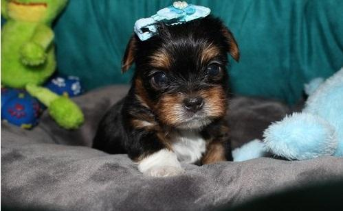 Female Rottweiler Puppies For Sale In Corpus Christi Texas