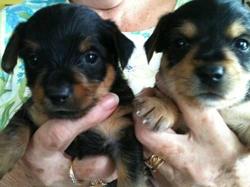 Yorkie Puppies Male/Female Ready for Christmas!!