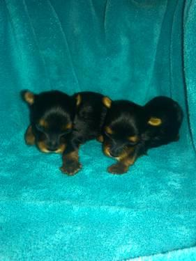 yorkie puppies very small yorkies!