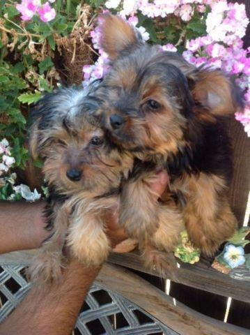 purebreed yorkie yorkie puppies yorkshire terrier purebred for sale in 8787