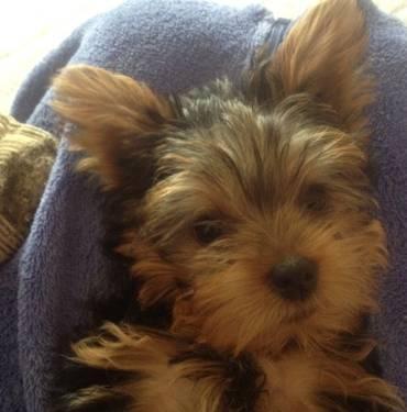 Yorkie Puppy 11 Weeks Old Sault Ste Marie For Sale In Sault Sainte