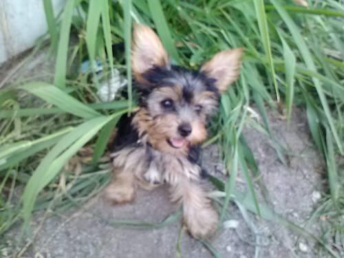 Yorkie Puppies For Sale In Indiana Classifieds Buy And Sell In