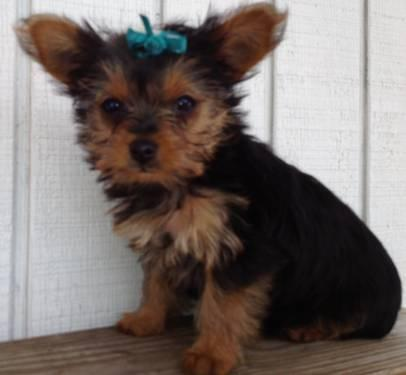 Yorkie Puppy - Tiny Toy Girl - Very Sweet- 9 weeks- CKC