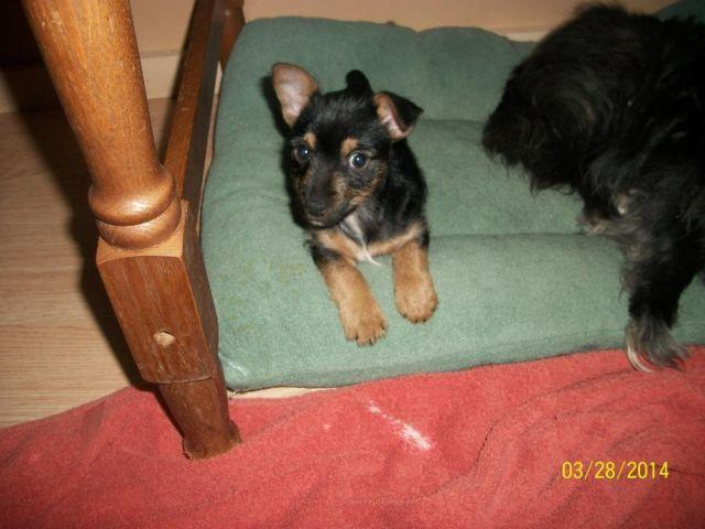 Yorkie Russell 10 Weeks Old For Sale In Kingston Ohio Classified