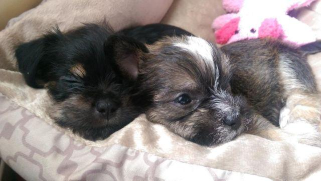 Yorkie Russell Mix For Sale In Sacramento California Classified