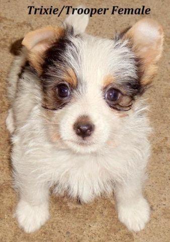 Yorkie Russell Terrier Female For Sale In Yakima Washington