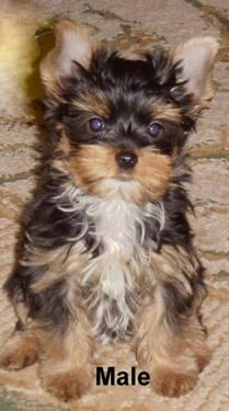 Yorkie Russell Terriers For Sale In Yakima Washington Classified
