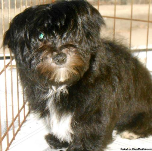 yorkie shih tzu mix for sale yorkie shih tzu mix nonshedding male very sweet great 6958