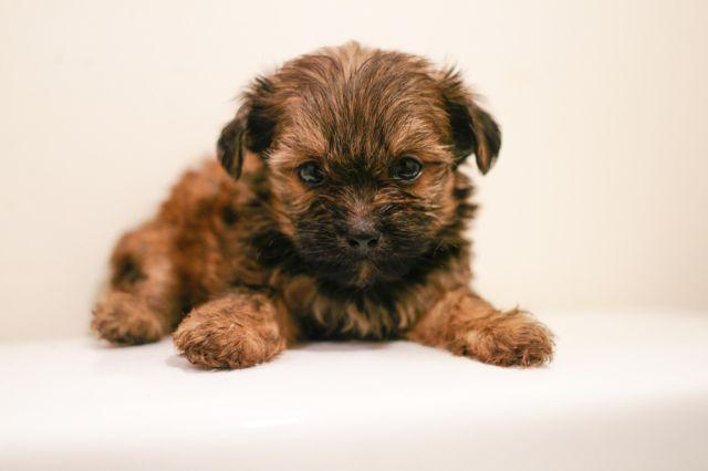 yorkie and shih tzu mix price yorkie shih tzu mixed pups available for sale in glenarden 2001