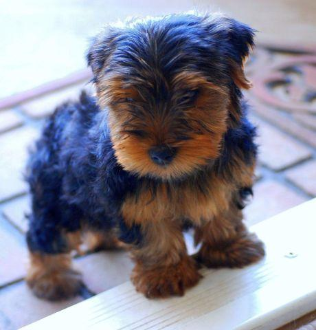 yorkie shih tzu mix for sale yorkie shih tzu mixed pups last few available for sale 5693