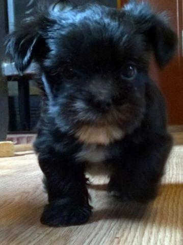 Yorkie/Shih Tzu Puppies-Adorable!