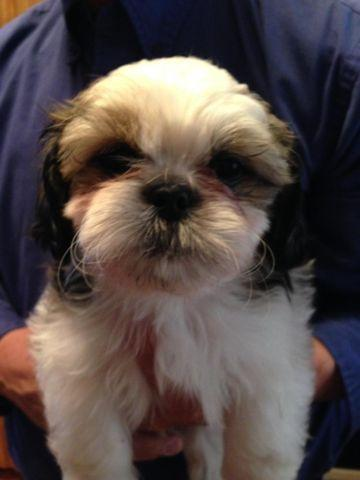 Shih tzu puppies for sale in washington