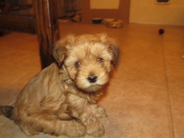 Yorkie Shihtzu Bichon Mix Puppies For Sale In Springfield
