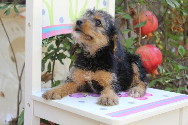Yorkie Terrier Puppies Toy Size For Sale In Citrus Heights