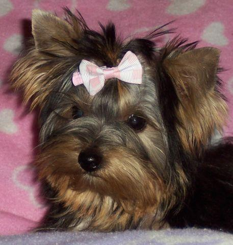 Yorkie Tiny Baby Girl--AKC for Sale in Las Cruces, New ...
