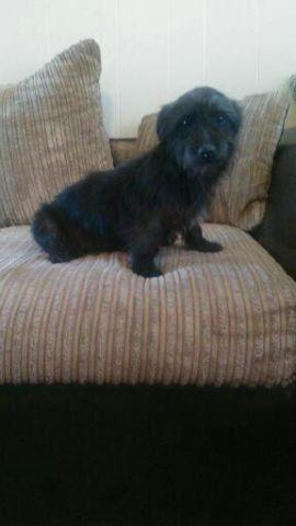 Yorkie Toy Poodle Mix For Sale In Arlington Texas Classified