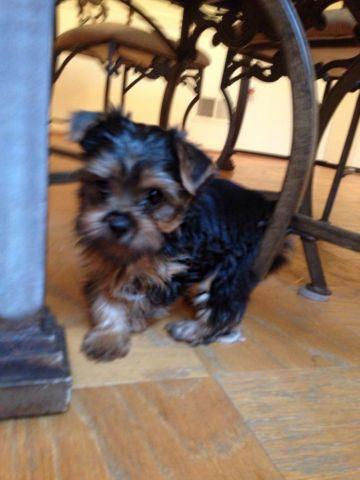Yorkie Yorkshire Terrier Puppies, AKC, 1M, 1F