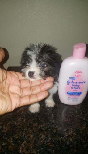 Yorkiepoo Pup For Sale In Ontario California Classified