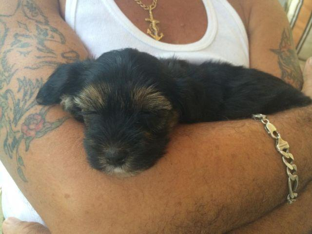 yorkiepoo puppies female and males cutest little babies