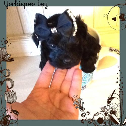 Yorkiepoo (Yorkie +poodle) black tiny