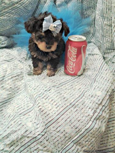 yorkiepoo (yorkie + poodle) hybrid