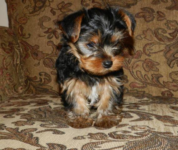 yorkie breeders washington state yorkies for sale in marysville washington classified 5045