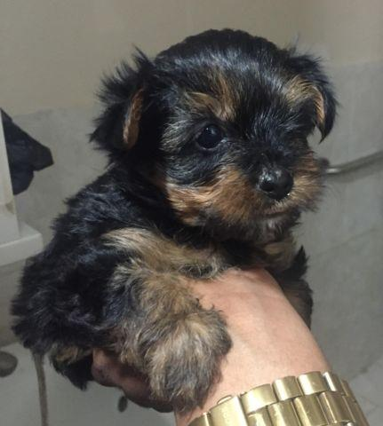 Yorkies Puppy Runt Female - 3 month old
