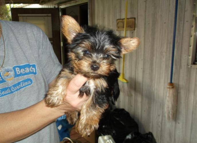 Yorkies Pups For Sale For Sale In Ballard West Virginia Classified