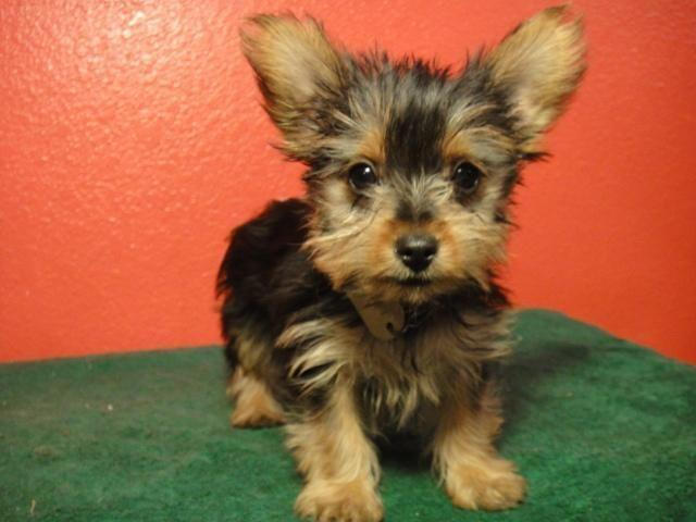 Yorkies Toy Poodle Yorkiepoos And Morkies For Sale In Berryville