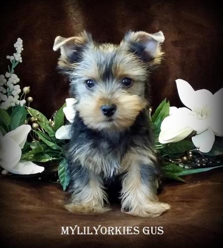 Yorkies Yokshire Terrier Yorkie For