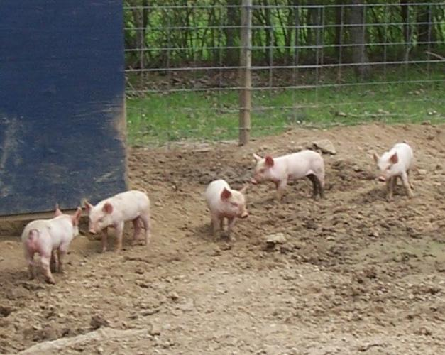 Yorkshire-Durac cross piglets