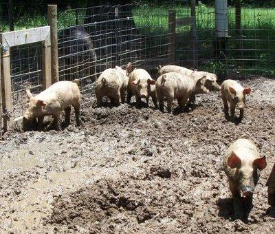 Yorkshire/Duroc cross pigs for feeder, breeding, or