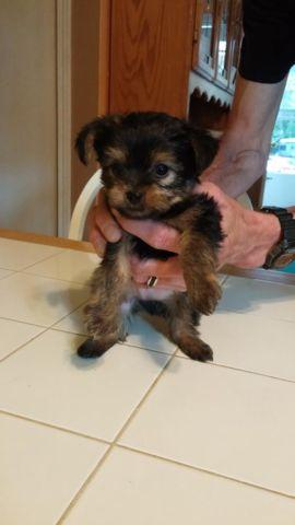 yorkie breeders washington state yorkshire terrier chihuahua mix puppies for sale in 1869