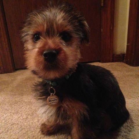 Yorkshire Terrier Male 3 Month Old Aca Registered Microchipped For