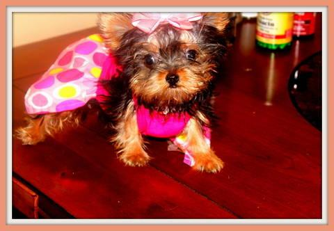 Yorkshire Terrier Male - full grown - 6 months old - 7 ...