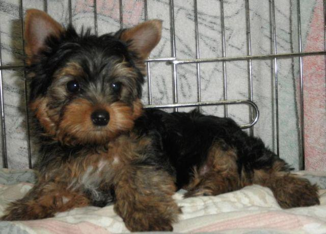 Yorkshire Terrier Male Yorkie
