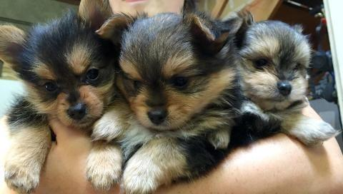 Yorkshire Terrier Pomeranian Mix Porkie For Sale In San Leandro