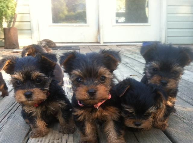 Yorkshire Terrier Puppies For Sale In Yellville Arkansas Classified