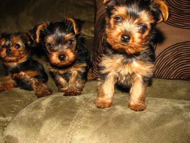 yorkie breeders washington state yorkshire terrier puppies for sale in spokane washington 1113