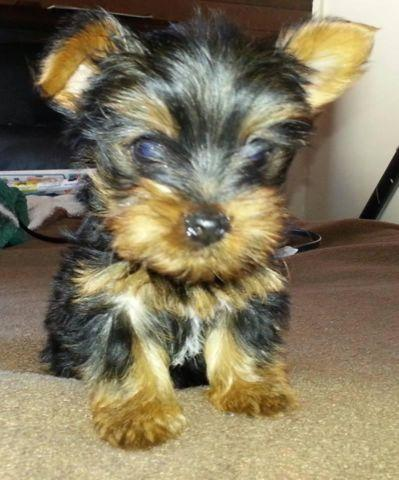 Yorkshire Terrier Puppy 3 Months Old For Sale In National City