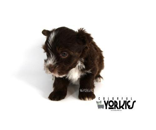 Yorkshire Terrier Puppy for Sale - Adoption, Rescue