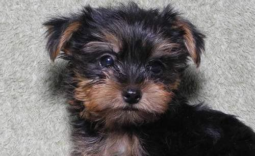 Yorkshire Terrier Puppy For Sale Adoption Rescue For Sale In